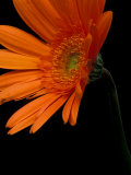 Gerbera Daisy, Washington, USA Photographic Print