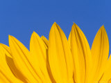 Sunflower in Blue Sky, Seattle, Washington, USA Photographic Print by Terry Eggers