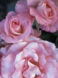 Pink Roses in the Bellevue Botanical Garden, Bellevue, Washington, USA Photographic Print