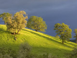 Oak Trees on Hillside near Roseburg, Oregon, USA Stampa fotografica di Chuck Haney