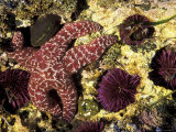 Ochre Sea Star with Purple Sea Urchins, Rialto Beach, Olympic National Park, Washington, USA Photographic Print