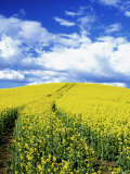Tracks in Field of Canola, Whitman County, Washington, USA Fotografie-Druck von Julie Eggers