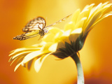 Hermosa mariposa monarca en margarita en flor Lámina fotográfica