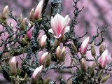 Tulip Magnolia Bloom, Washington, USA Photographic Print by William Sutton