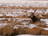 Elk at Jackson Hole, National Elk Refuge, Wyoming, USA Photographic Print by Dee Ann Pederson