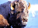 Rocky Mt. Bison, Yellowstone National Park, Wyoming, USA Photographic Print by Gavriel Jecan