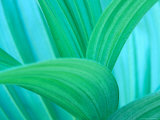 Green False Hellebore, Mount Rainier National Park, Washington State, USA Photographic Print
