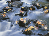 Fallen Maple Leaves on Rocks in Water Rapids Photographic Print
