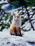 Red Fox on Snow Bank, Mt. Rainier National Park, Washington, USA Photographic Print by Adam Jones