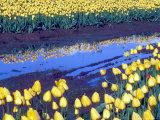 Reflection of Yellow Tulips, Washington, USA Photographic Print by William Sutton