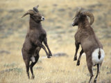 Bighorn Rams, Whiskey Mountain, Wind River Mountains, near Dubois, Wyoming, USA Fotoprint van Howie Garber