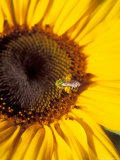 A Bee Collecting Pollen From a Sunflower, Walla Walla, Washington, USA Photographic Print by Brent Bergherm