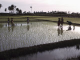 Women Cultivating Rice, India Lmina fotogrfica