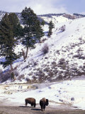 Buffalo in Winter Snow, Yellowstone National Park, Wyoming, USA Photographic Print by Paul Souders