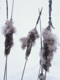 Close-up of Three Cattails Photographie