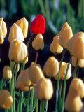 Red Tulip, Washington, USA Photographic Print by William Sutton