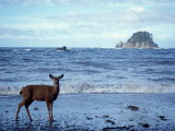Black-Tailed Deer, Doe on the Beach at Cape Alava, Olympic National Park, Washington, USA Photographic Print by Steve Kazlowski