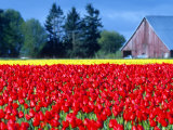 Tulip Field, Washington, USA Photographic Print by William Sutton