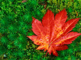 Maple Leaf on Moss in a Japanese Garden, Seattle, Washington, USA Photographic Print by Rob Tilley