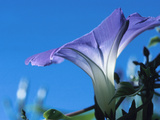 Close-up of Blooming Morning Glory Photographic Print