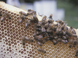 Close-up of Honeybees on Sweet Honeycomb Photographic Print