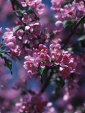 Blooming Spring Blossoms Photographic Print