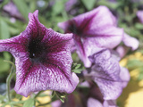 Blooming Purple Petunias Photographic Print