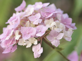 Close-up of Blooming Pink Blossoms Photographic Print