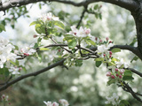 Blooming White Fruit Blossoms on Tree Bough Photographic Print