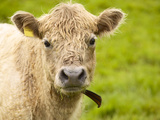 Shaggy Cow with Yellow Ear Tag Standing in Green Pasture Photographic Print