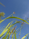 Tall Shoots of Prairie Grasses Against a Large Blue Sky Photographic Print