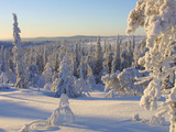 Sunlight Shining on a Frozen Landscape with Pine Trees Covered in Cold Snow - Fotografik Baskı