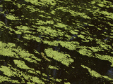 Dark Water with Bright Green Moss Floating on the Surface Photographic Print
