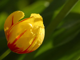 A Single Bright Yellow and Red Tulip Photographic Print