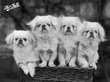 "Group of Four ""White"" Pekingese Puppies in a Basket Owned by Stewart Photographic Print"