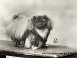 Champion Pung-Chow of Alderbourne Owned by Miss Marjorie Ashton Cross Photographic Print