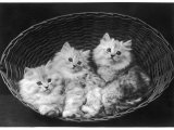 These Three Adorable Chinchilla Kittens Sit Together in an Up- Turned Basket Photographic Print