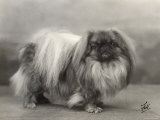Champion Yu-Fuh of Aldernbourne Dog Owned by Miss Marjorie Ashton Cross Photographic Print