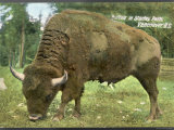 Bison Bison American Bison or Buffalo Photographic Print