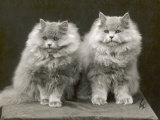 Two Cats Sitting Together with a Lot of Fur Between Them Photographic Print