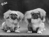 Two Puppies Owned by Ashton Cross Photographic Print