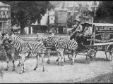 The Mazawattee Tea Zebra Cart Photographic Print