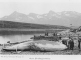Beached Whale at Hvalfanger Station Norway Photographic Print