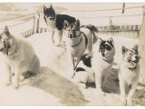 Five Sledge Dogs Wait in Their Pen for Their Next Job Photographic Print