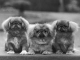 Three Pekingese Puppies One Lying the Other Two Sitting Photographic Print