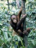 Young Orangutan Climbing a Tree Fotografisk tryk af Inga Spence