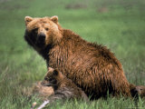 Grizzly Bear, Sow and Cub Photographic Print by Elizabeth DeLaney