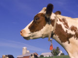 Profile of Ayrshire Cow, VT Photographic Print by Lynn M. Stone