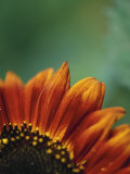 Close-up of Sunflower Photographic Print by Sandra Stambaugh