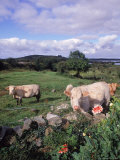 Cows, Cashel Bay, Co Galway, Ire Photographic Print by Mark Polott
